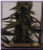Feminised Seeds Co Auto Sugar Mama Fem 10